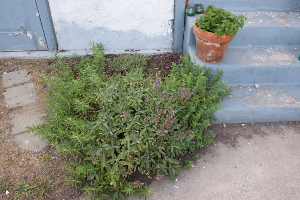 Herb Garden with killer sage